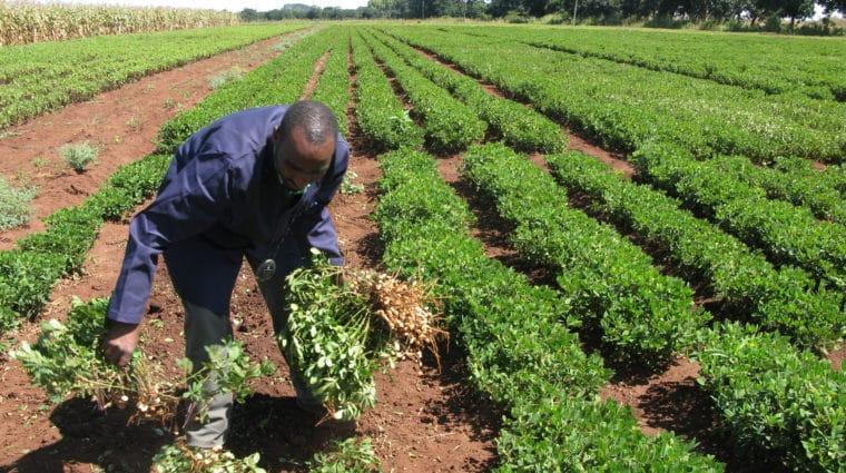 Malawi groundnut farmer