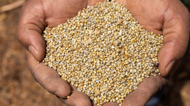 Close Up Shot Farmer Holding Threshed Millet